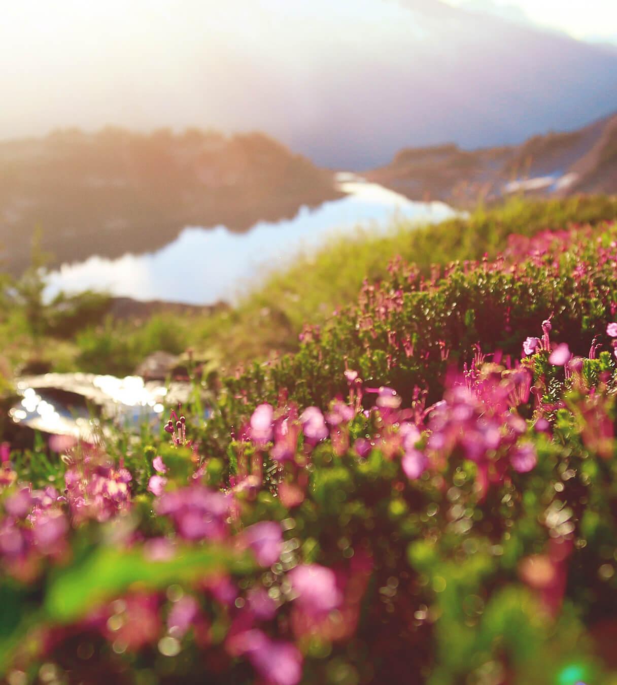 landscape photo of flower field